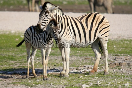 zebra und fohlen