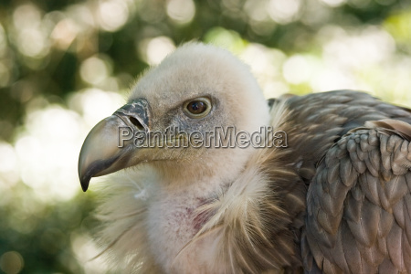 griffon vulture watchful