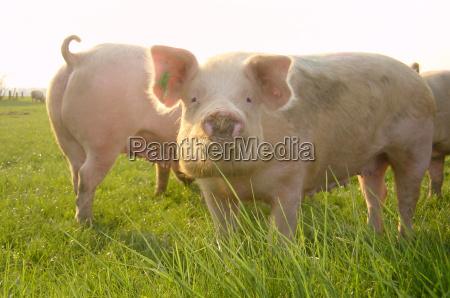gluecksschweine auf der weide