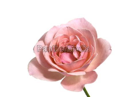 rosa valentin stieg einzigen stamm