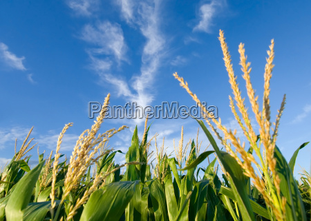 corn and clouds