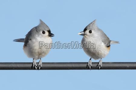 vogel wild wildlife meise bueschelig natur