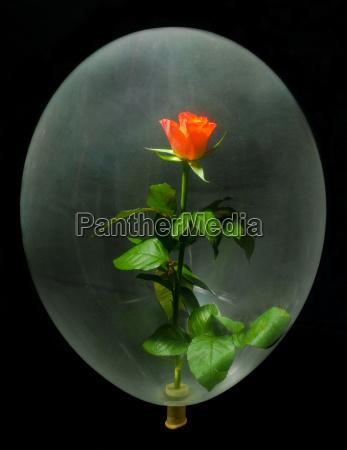 rose im ballon