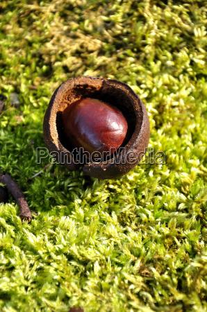embedded chestnut on moss