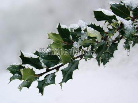 schneebedeckter ilexzweig