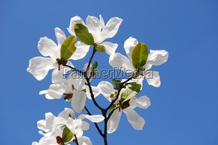 blank european caucasian spring magnolia firmament