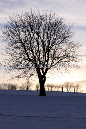 tree silhouette in snow
