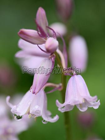 hyazinthoides