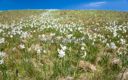 meadow of white mountain flowers