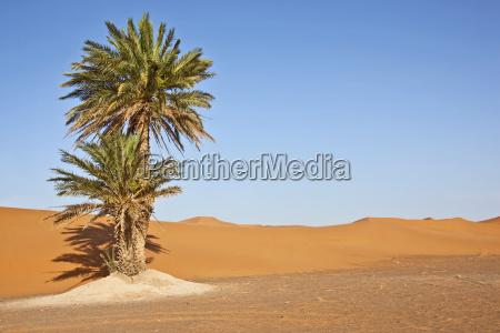 dattelpalmen in sandduenen