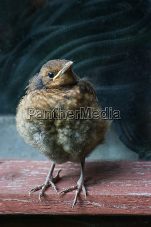 young blackbird just flown out of