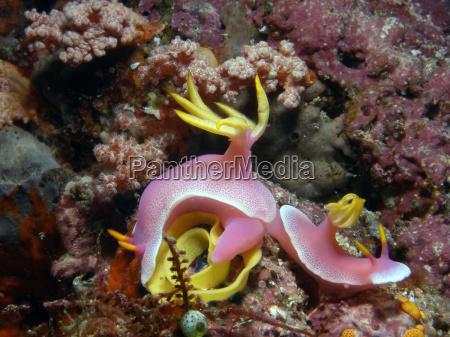 indonesia underwater slug snail meeresschnecke hypselodoris