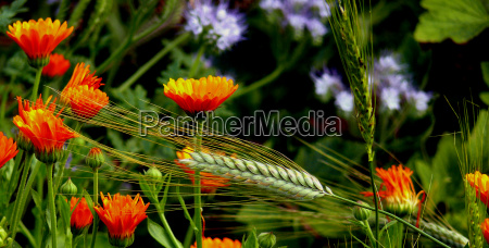 barley field with marigolds