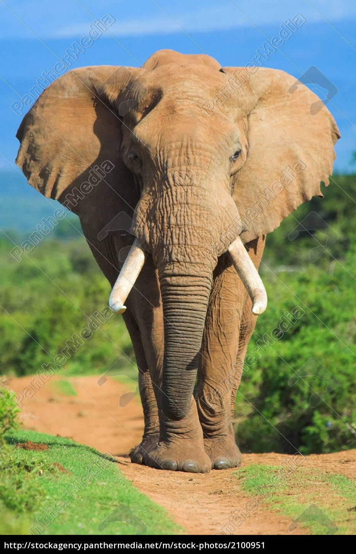 elephant, portrait - 2100951