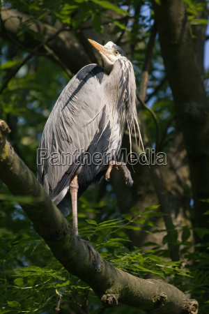 grey heron standing on branch looking