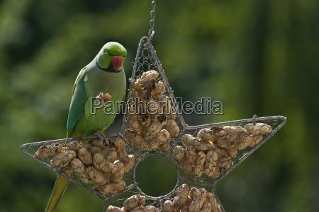ringnecked parakeet eating peanut
