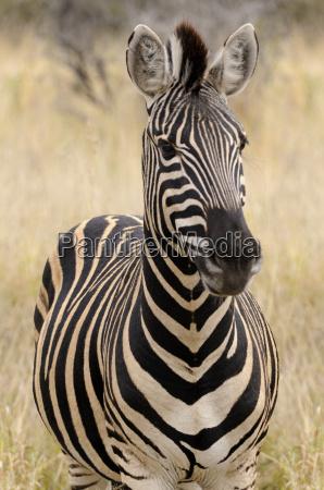 portrait eines zebra afrika