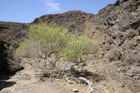 tree desert wasteland canary islands bush