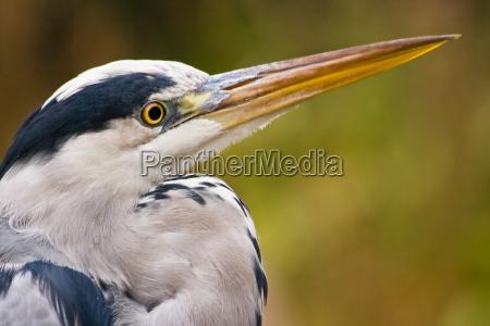 grey heron in autumn