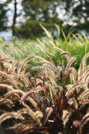 fuchsschwanz gras