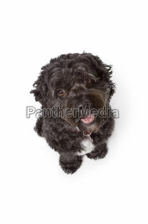 schwarz bichon cockerspaniel hund