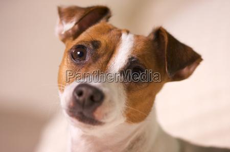 jack russell terrier hundeportraet
