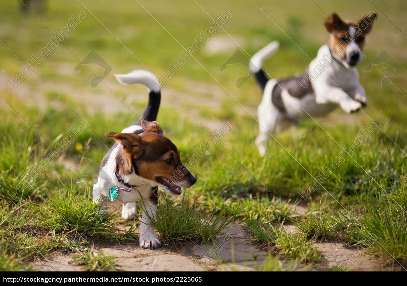spielende, hunde - 2225065