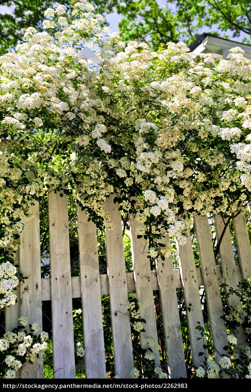 weißer zaun mit blühenden sträuchern - lizenzfreies bild - #2262983