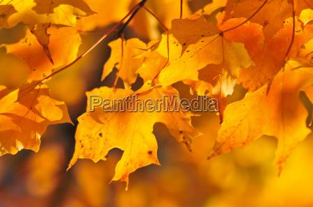 fall ahornblaetter