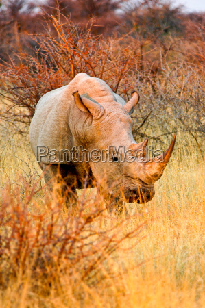 spitzmaul nashorn in namibia