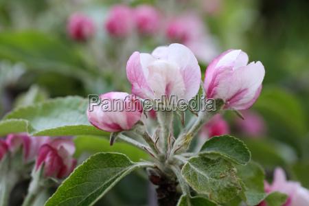 bucolic tree bloom blossom flourish flourishing