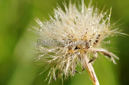 ordinary scratch thistle cirsium vulgare