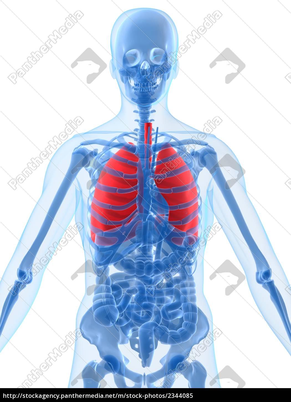 menschliche anatomie mit hervorgehobenen lunge - Lizenzfreies Bild ...