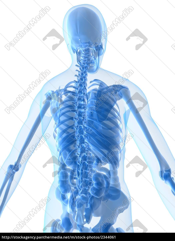 Nett Menschliches Skelett Mit Organen Ideen - Menschliche Anatomie ...