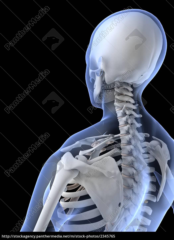 weibliche skelett-hals - Lizenzfreies Bild - #2345765 - Bildagentur ...