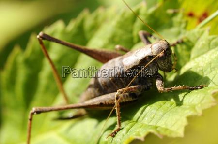 gemeine strauchschrecke pholidoptera griseoaptera