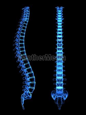 x ray menschlichen wirbelsaeule