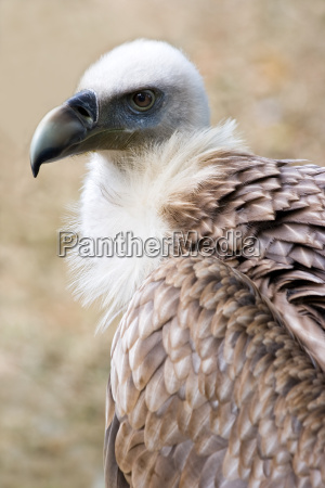 griffon vulture in side angle view