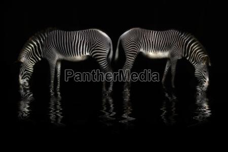 zebra trinkt wasser