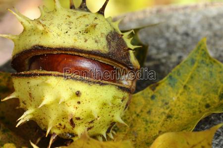 chestnut castanea