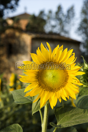 sunflower tuscany italy