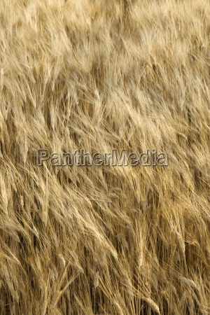 wheat field tuscany italy