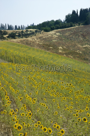 sunflowers in tuscan countryside