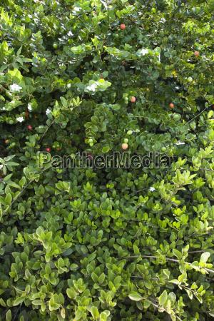 gruene ueppigen jasmin busch