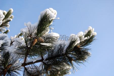 winter pine blank european caucasian branch