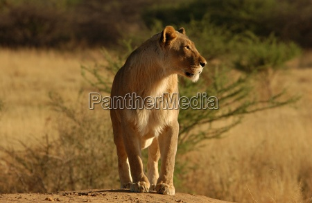 lions namibia africa