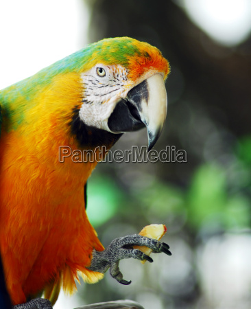 green yellow macaw bird isolated