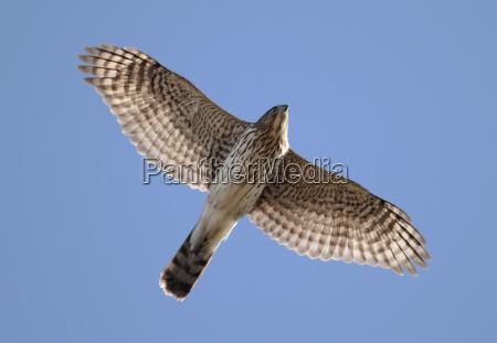 juvenile coopers hawk im flug