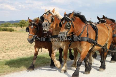draft horse harnessing