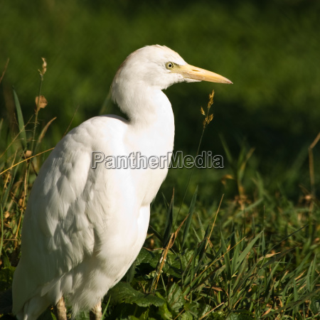 cattle egret or cow heron